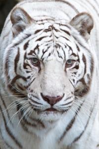 Mark Dumont_White Tiger_ZkBjQg